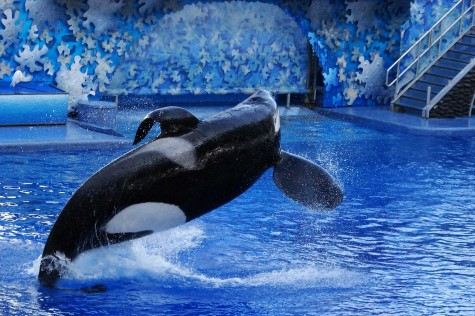 Editorial: A Voice for the Orcas