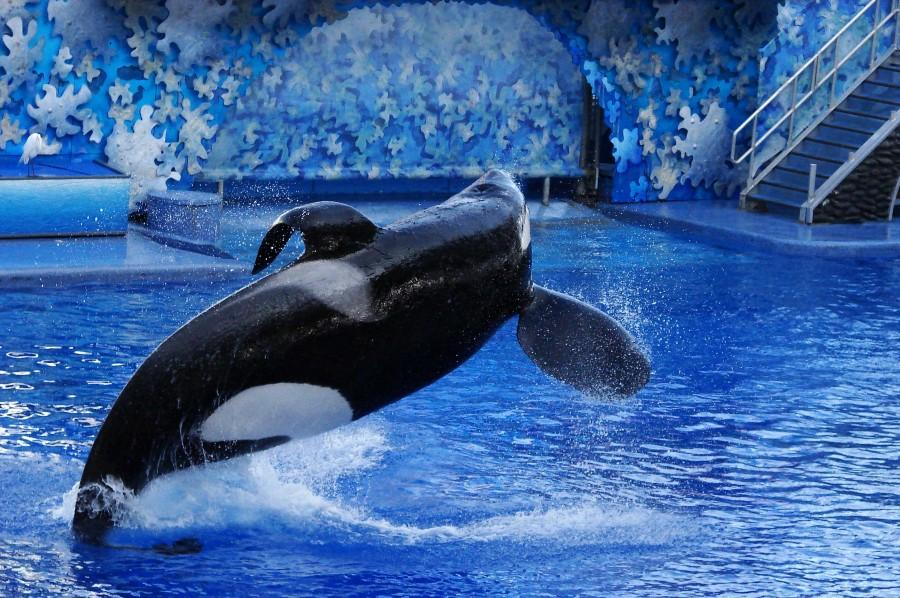 Featured here is the largest and most famous orca in SeaWorld, Tilikum. Currently, Tilikum is still alive, yet he has a life threatening bacterial lung infection. For now, he's receiving medication and resting until they can find a cure.