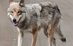 MAPS Class Explores the Colorado Wolf and Wildlife Center